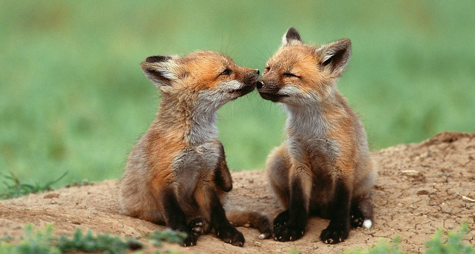 pimpdesktop-cute-baby-fox-kissing-1600x1200