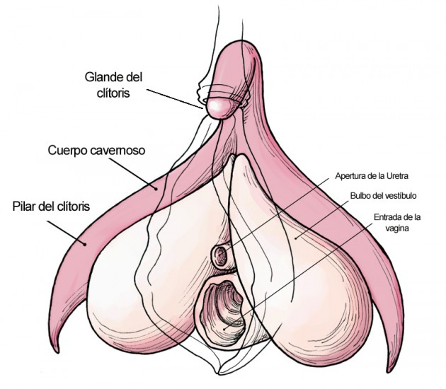 clitoris_anatomy_labeled-en-copia